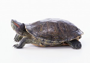 Image of a turtle to illustrate a teaching point about the hazards of wasting time on rote learning