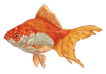Image of goldfish to illustrate the attention span myth