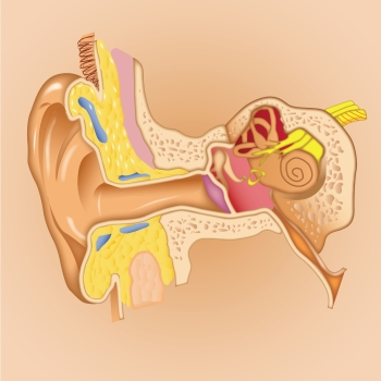 Illustration of ear for MMM Podcast and blog on memorizing Human anatomy with a memory palace