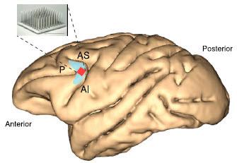 Anterior and Posterior cortex of the brain