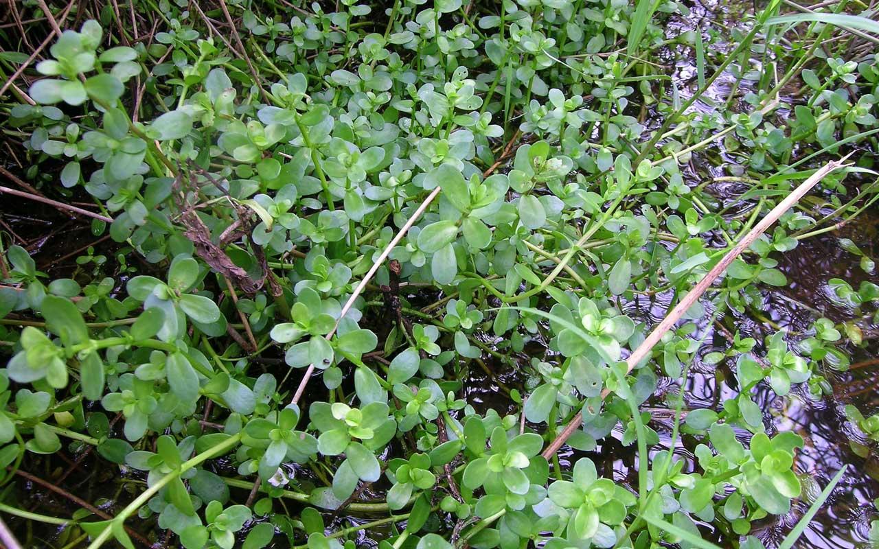 Bacopa Monnieri, or waterhyssop, growing in a stream bed.