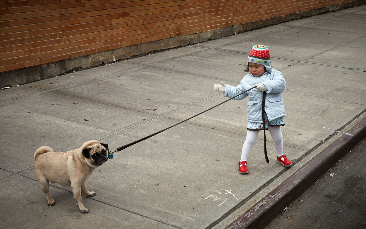 Distraction can result from impaired selective memory. Photo of pug pulling on a leash, led by small child.