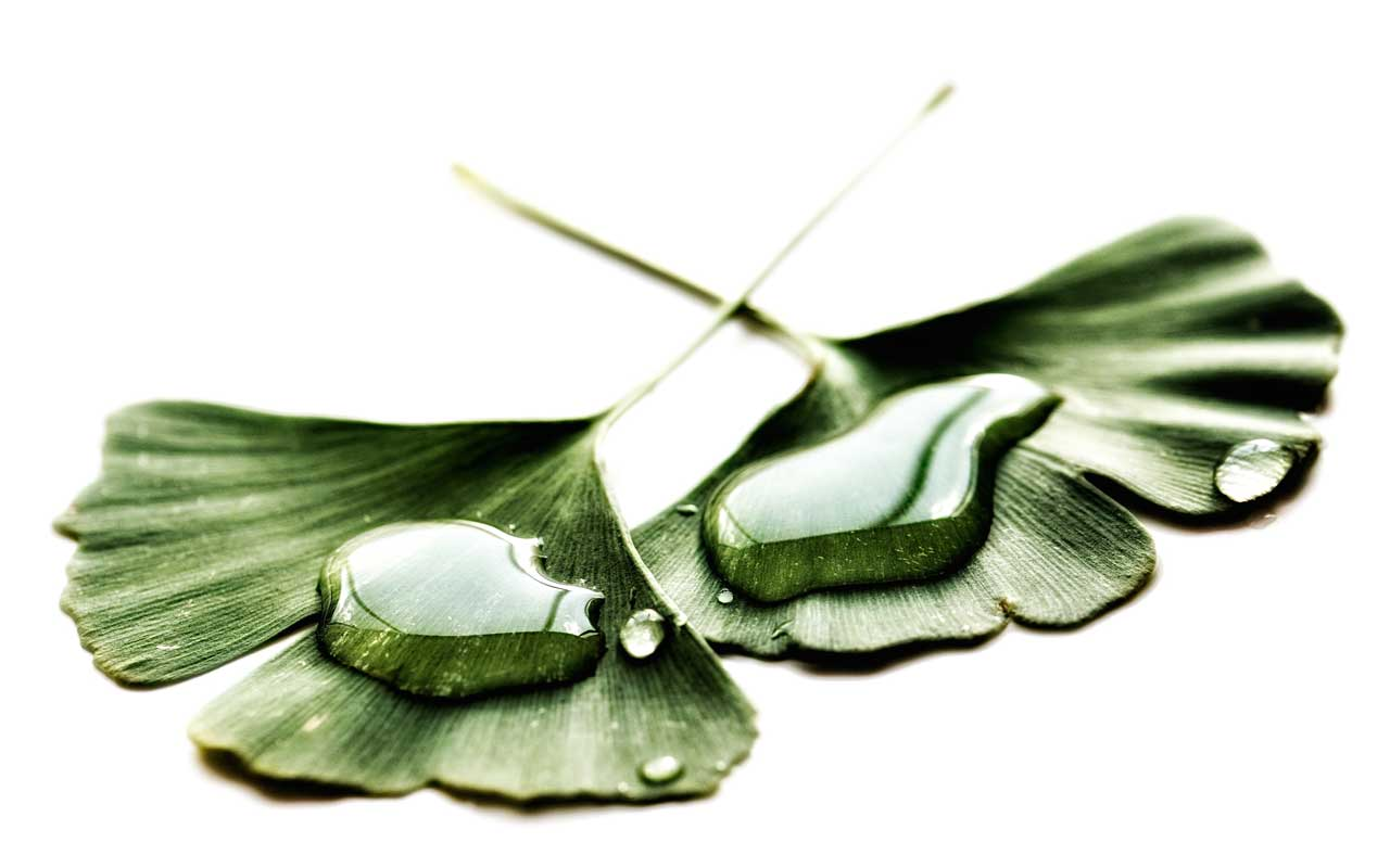 Ginkgo biloba leaves, which are extracted to make Ginkgo biloba supplements.