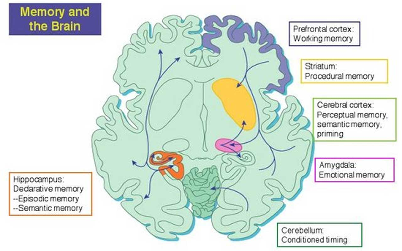 Parts of the brain associated with memory