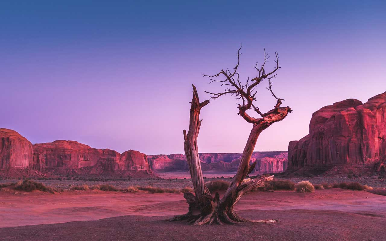 A dead desert tree at sunset, colored purple and pink.
