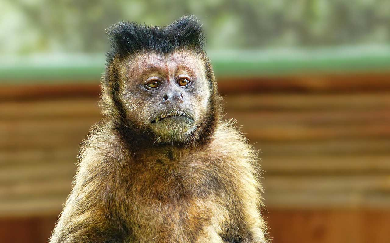An unamused monkey, staring into space. Not quite the kind of monkey mind we're discussing here.
