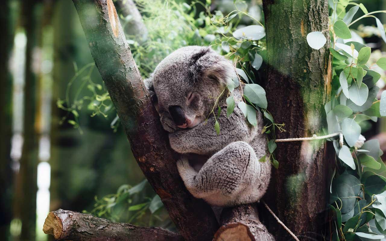 A koala sleeps in the crook of a tree.