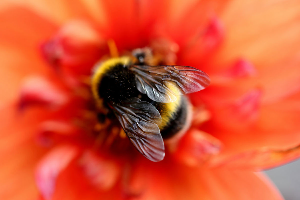 A fuzzy bumblebee sits in the center of a red flower.