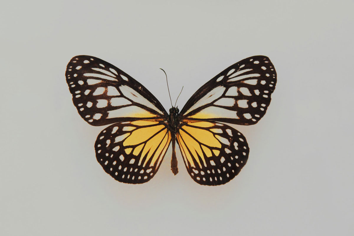 A hand painted drawing of a black and yellow butterfly. The thyroid gland is shaped like a butterfly.