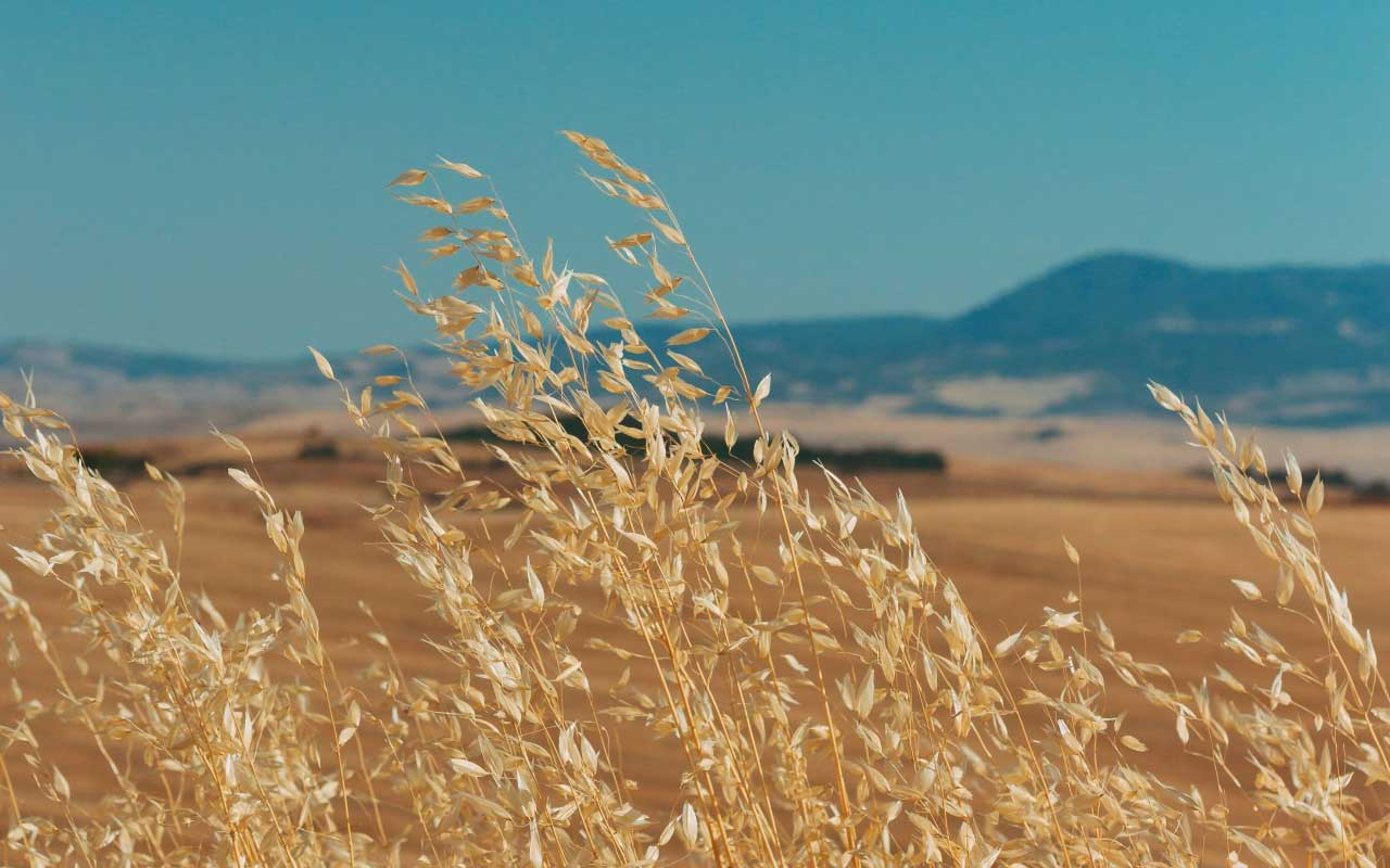 A field of wheat with blue mountains in the background, much like the imagery in this guided visualization.