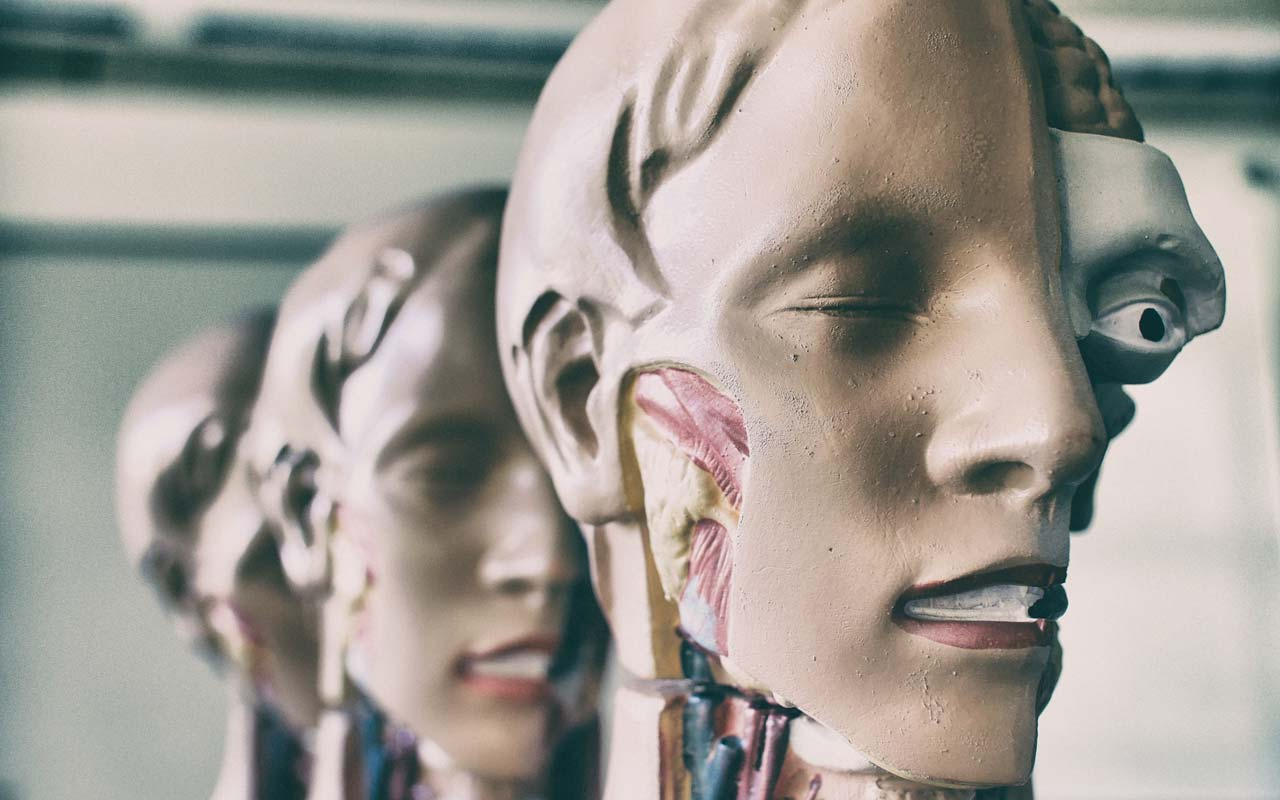 Anatomy models lined up in a row, showing a cross-section of the human head, including the muscles in the jaw.