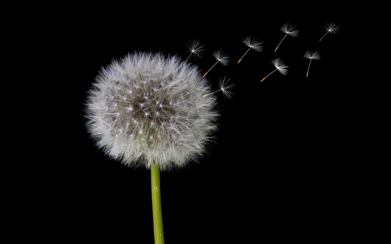 A dandelion seed head against a solid black background, with seeds floating away. Improving short-term memory can be improved.