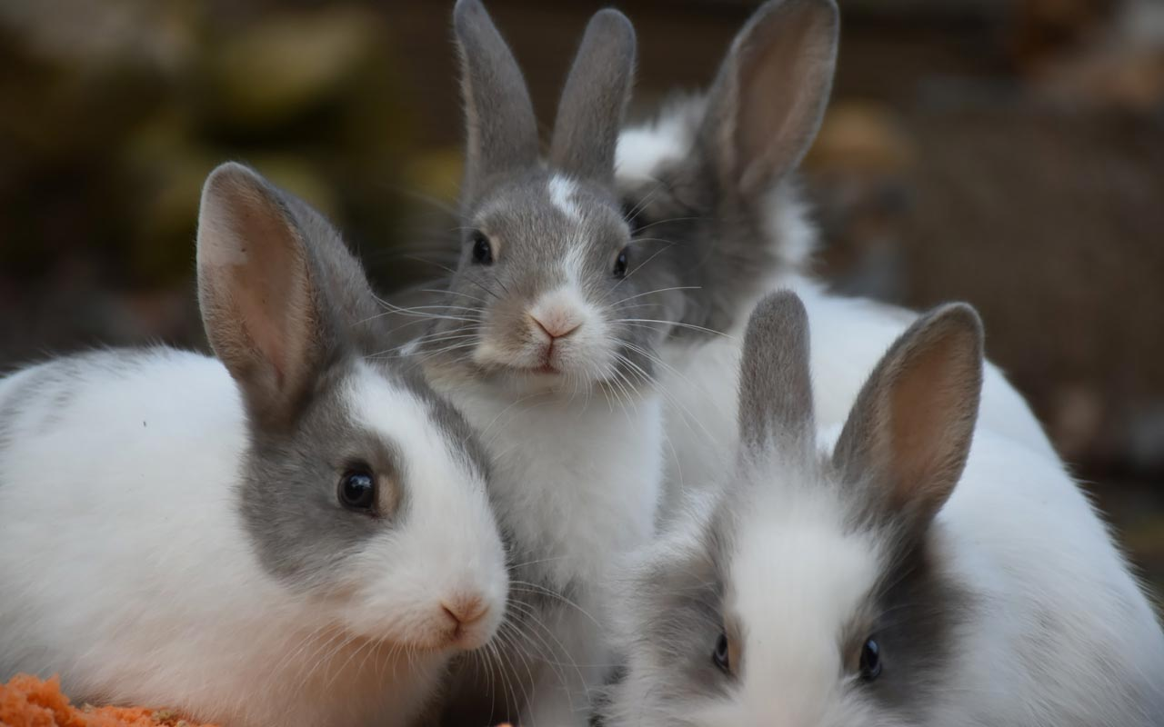 Four grey and white rabbits look into the camera. Don't chase too many rabbits while you're becoming multilingual.