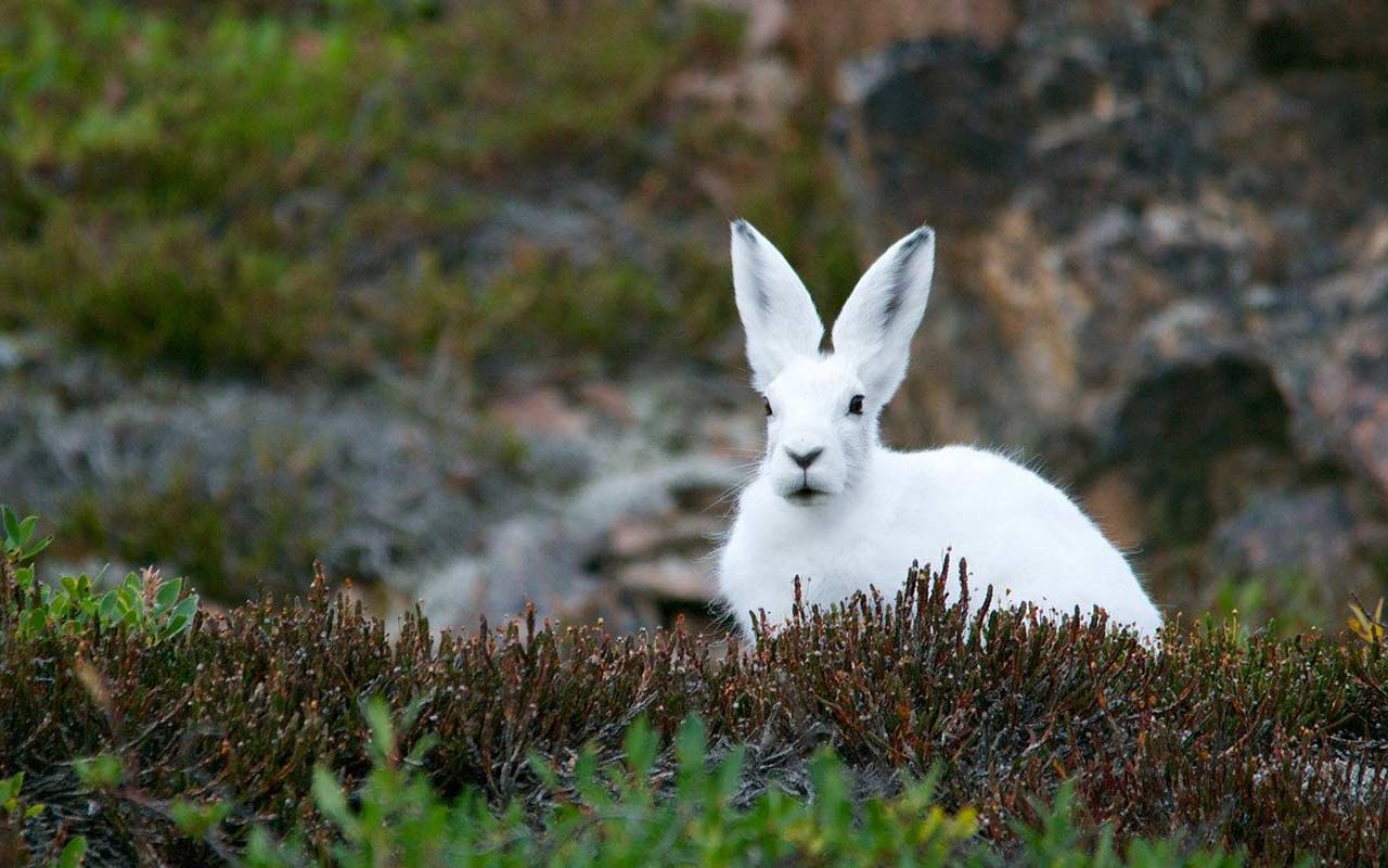 A white arctic hare, with giant upright ears, sits in an open area. As solar system mnemonics go, you can use the hare's ears to remember the planet Earth.