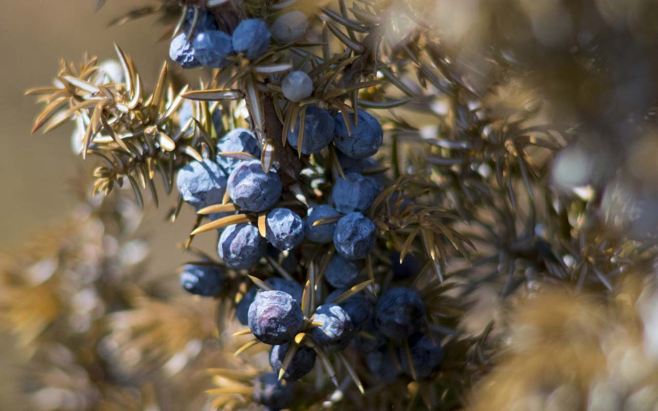 Juniper berries still on the tree. Juniper sounds similar enough to Jupiter that you can use the berries to help you remember the planets.