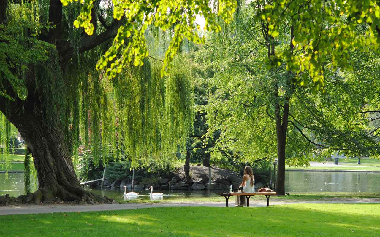 A person sits on a park bench under a giant weeping willow tree. Two swans float in the pond in front of them.