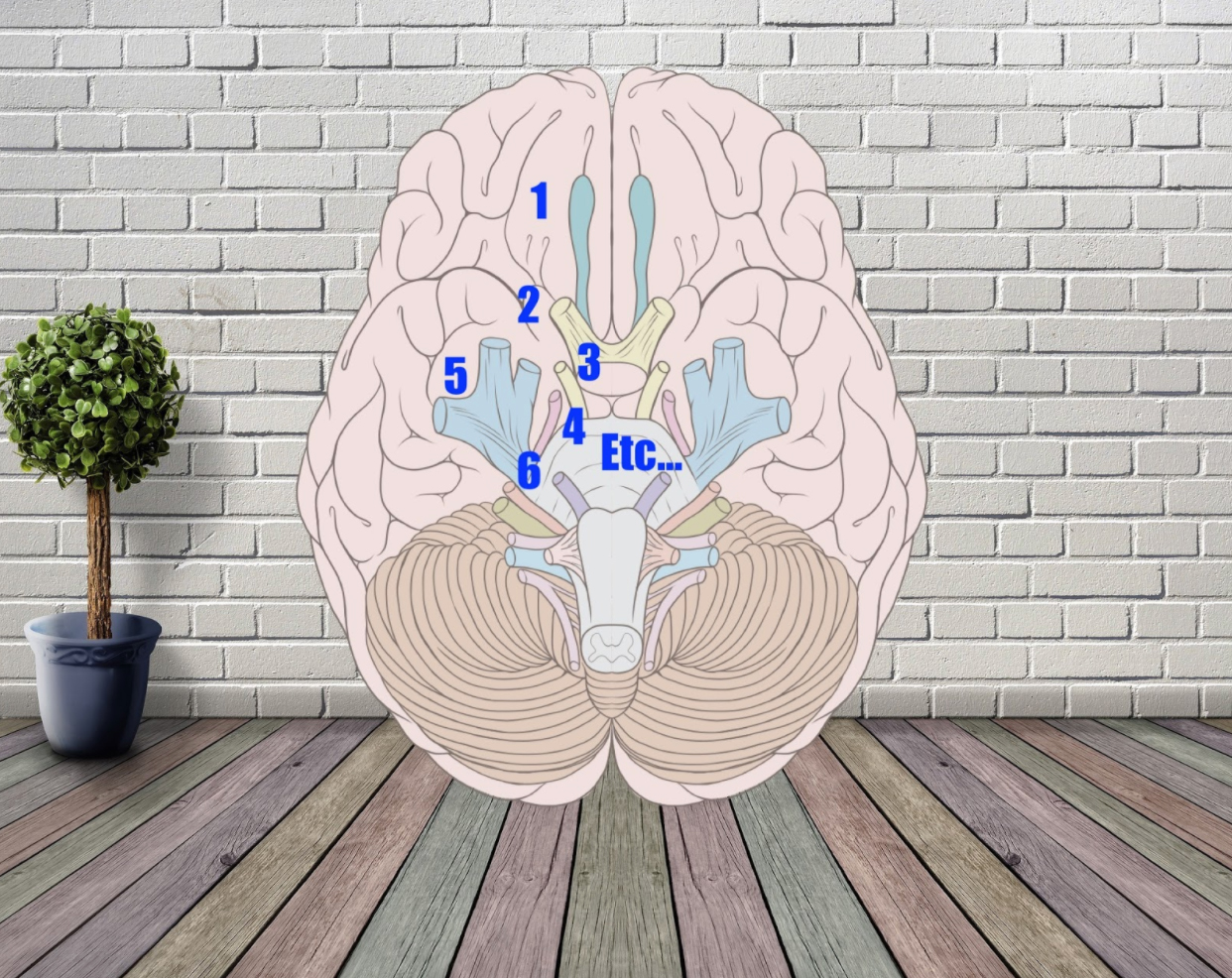 cranial nerves in a brain memory palace